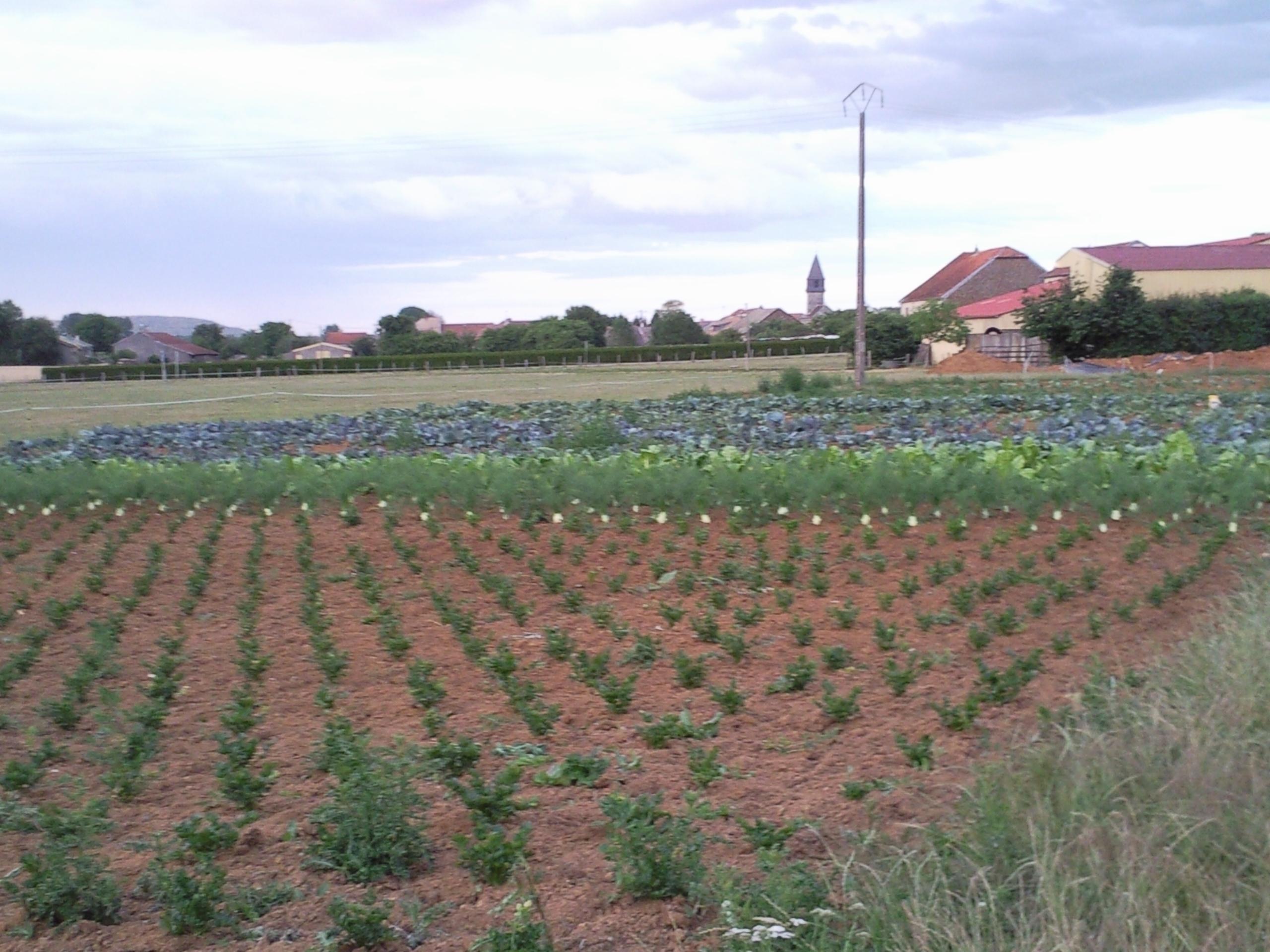 Le champ et les légumes en place