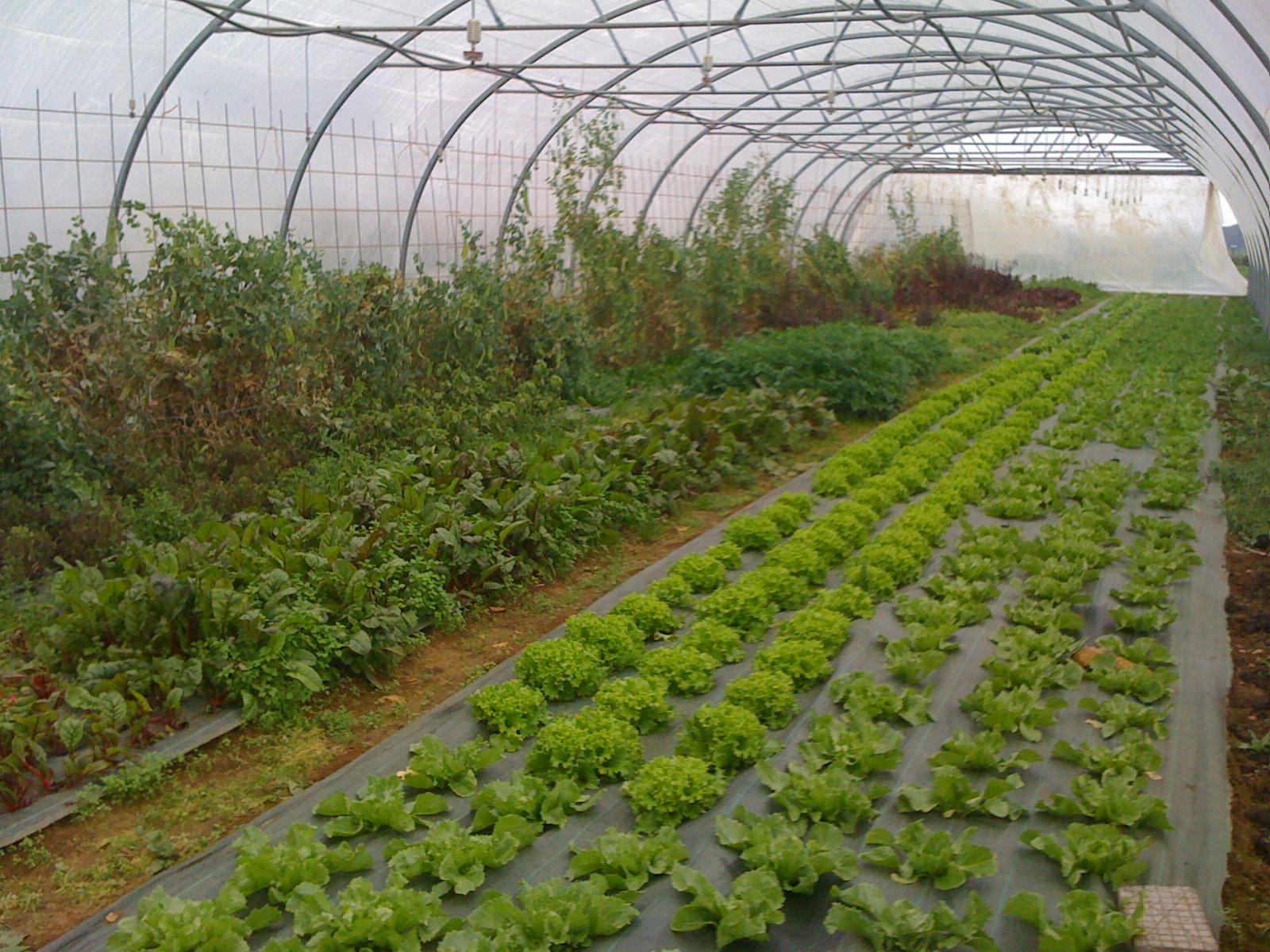 Jardin du poirier - Bettes au jardin ...
