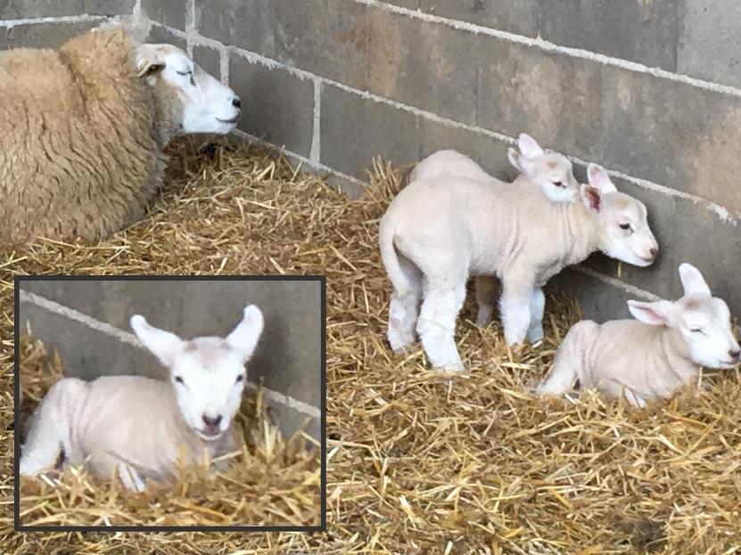 naissance des agneaux