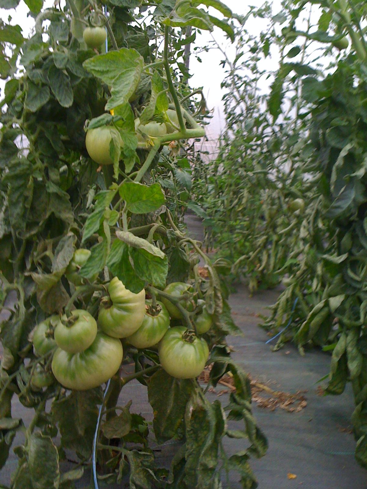 tomate culture
