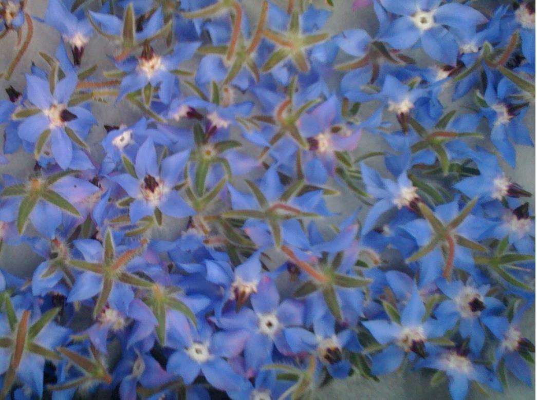 fleurs de bourraches