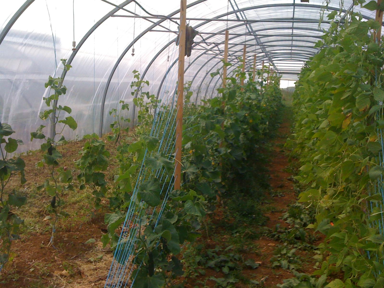 les concombres et haricots - juillet 2013