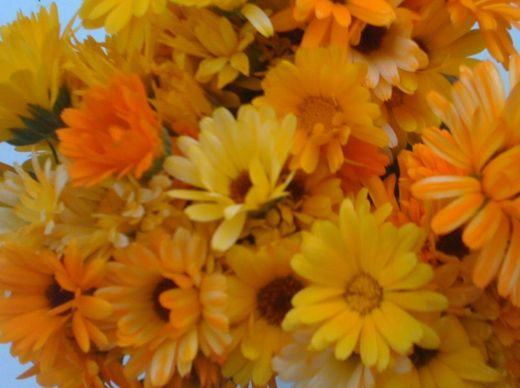 fleurs de soucis